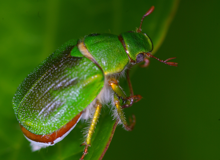 Pololo verde (Hylamorpha elegans) posado sobre un vegetal.