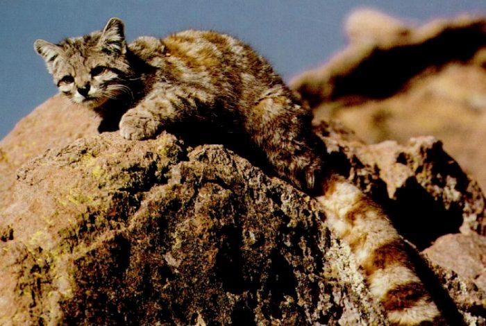 Gato andino (Leopardus jacobita)